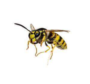 biocon Wespenbekämpfung